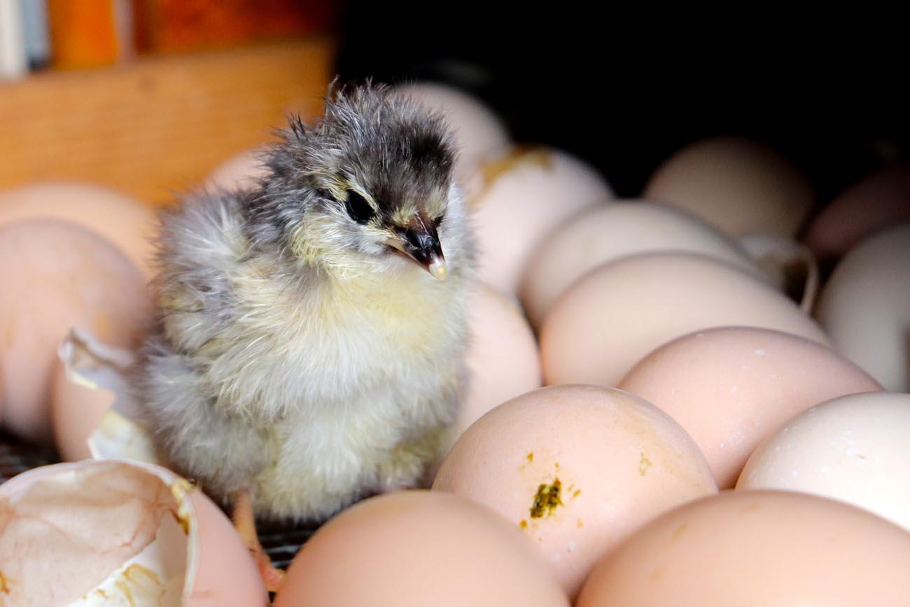 okologisk-smabruk-nyklekt-kylling-fosen-fhs